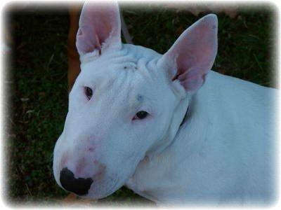 порода собак с мордой как у крысы
