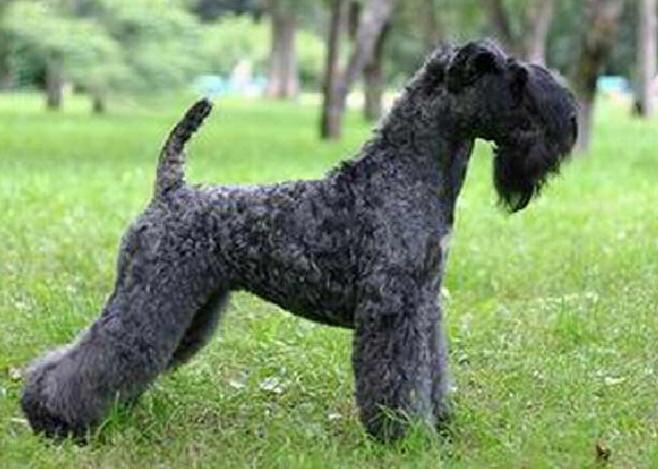 порода собак кучерявая
