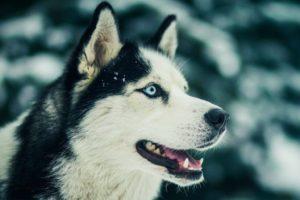 Куплю собаку хаски