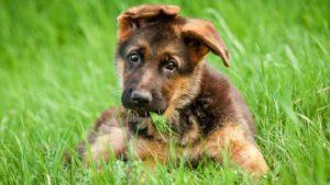 Чем кормить щенка немецкой овчарки