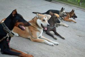 Школа дрессировки собак