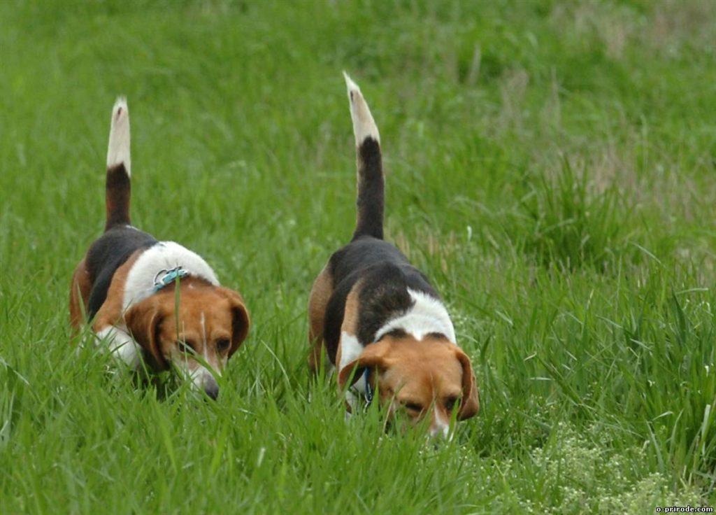 Собаки гончие купить