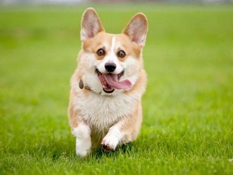 Корги порода собак купить цена