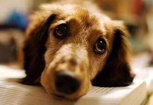 Симптомы после укуса клеща у собаки