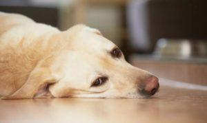 Осложнения после прививки от бешенства у собак