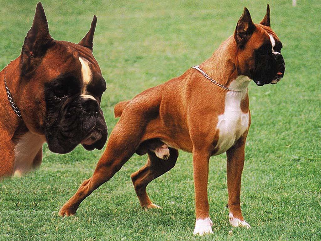 Боксер собака купить