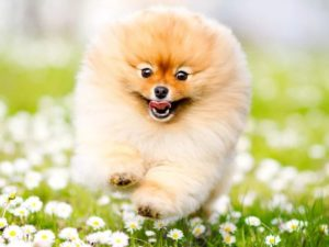 Купить собаку шпиц