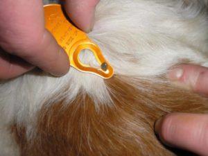 После укуса клеща у собаки появилась шишка