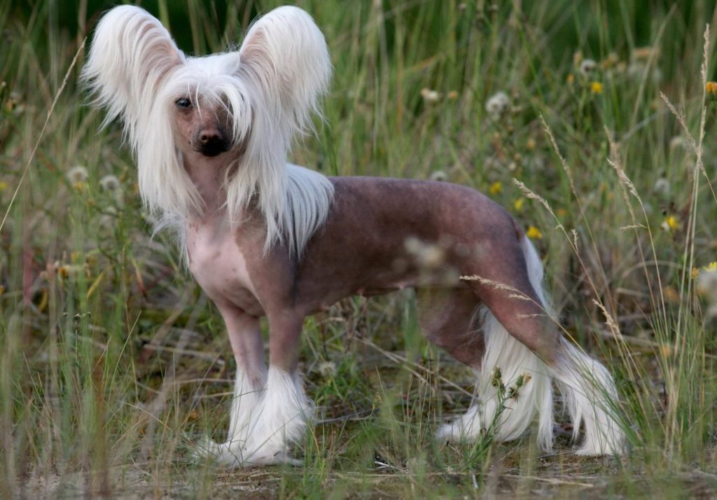 Купить китайскую хохлатую собаку