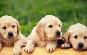 Купить собаку в Воронеже